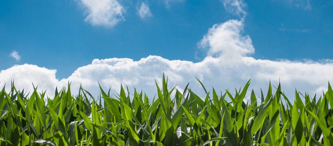 corn-blue-sky